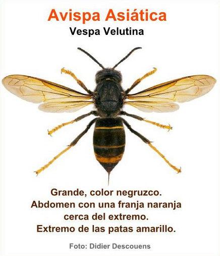 Avispa Asiatica