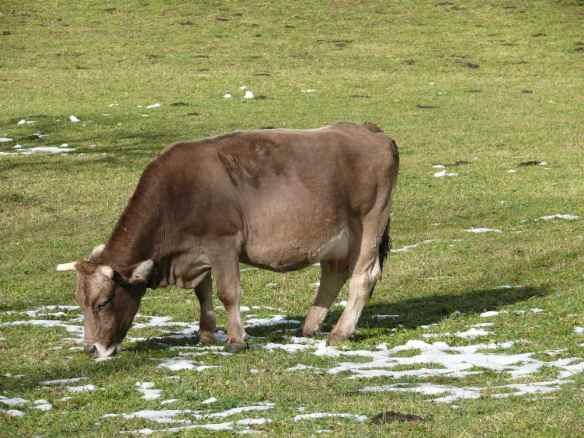 Vaca gordita