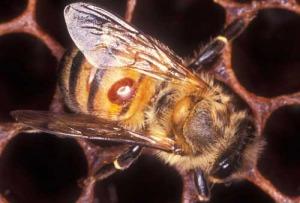 Varroa en abeja